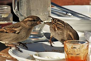 House Sparrows feeding on scraps