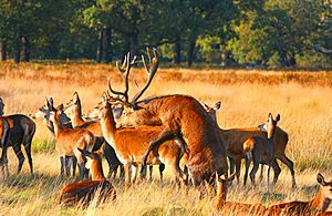 Mating Red Deer