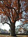 Oak Tree - Salem, NJ - November 2012