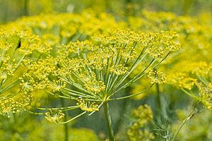 Fennel flower heads