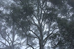 Gum Trees in the Sydney Winter Fog, New South Wales, Australia (3593082913)