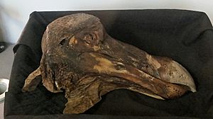 Oxford Dodo head