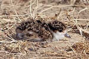 Spur-Winged-Plover-chick