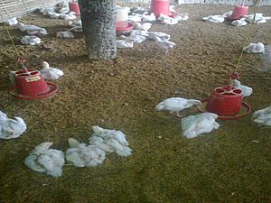 Poultry Farming in Nepal2