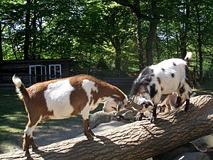 Goats butting heads in Germany