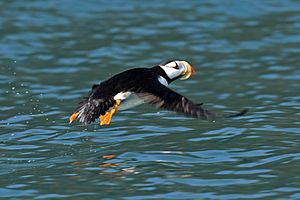 Horned Puffin, near Chisik Island in Lower Cook Inlet, Alaska