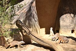 Meercats at Happy Hollow Park & Zoo