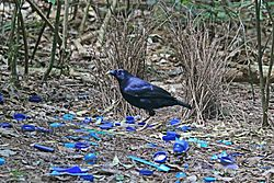 Satin Bowerbird at his bower JCB