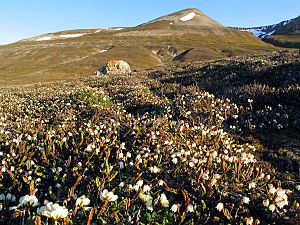 Arctic bell-heather