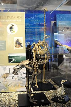 The skeletons of Eastern moa and other kinds of moas in Otago museum