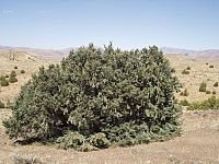 Single-leaf pinyon 1.jpg