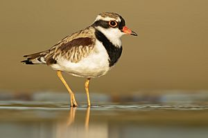 Black-fronted Dotterel 2 - Bow Bowing.jpg