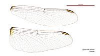 Diplacodes trivialis female wings (34895367602)