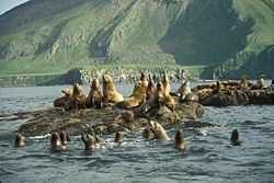 Amak Island, Steller's Sea Lion haul out