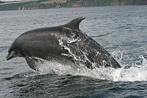 Bottlenose dolphin cromarty firth 2006
