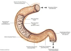 Duodenum Facts for Kids