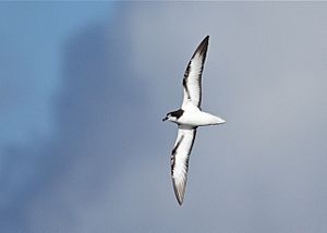 Gould's Petrel-off Southport Qld-15April2012