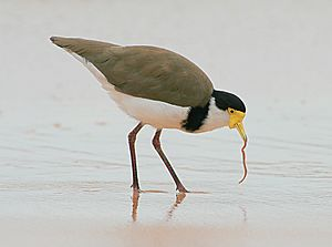 Masked Lapwing with worm