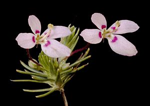 Stylidium repens - Flickr - Kevin Thiele.jpg