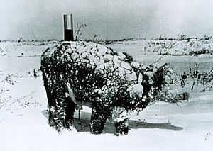 Young steer after blizzard - NOAA