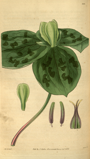 Curtis's Botanical Magazine, Plate 3097 (Volume 58, 1831).png