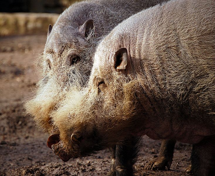 Bearded Pigs2