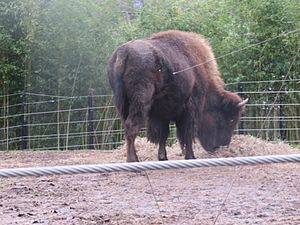 Bison at the zoo