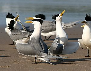 Crested Tern courtship