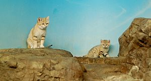 Mom and Baby Sand Cat