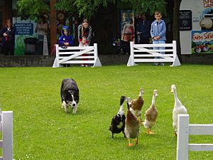 Duck trials at the Big Sheep, Abbotsham near Bideford - geograph.org.uk - 11241.jpg