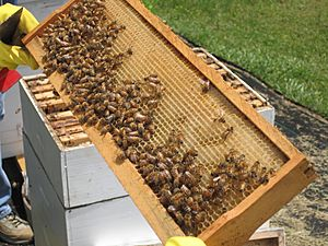 Western Honey Bees and Honeycomb