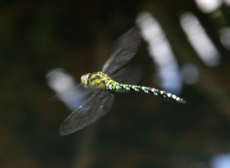 Dragonfly in flight 5 (1351481586)