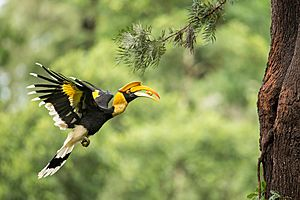 Female Great Hornbill carrying food