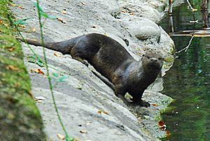 River otter on bank, Park Ave San Anselmo Creek Charles Kennard cropped