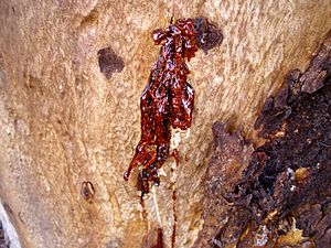 Kino oozing from a small fissure on a Eucalyptus cladocalyx