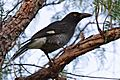 Currawong in peppercorn