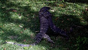 Lace Monitors fighting