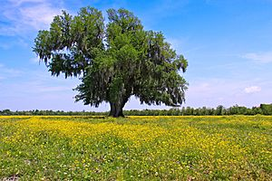 Lone Oak in Saint Bernard Parish