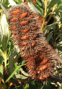 orange-brown spike
