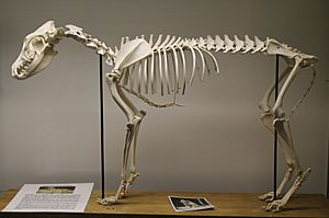 Dingo (Canis lupus dingo) skeleton at the Royal Veterinary College anatomy museum