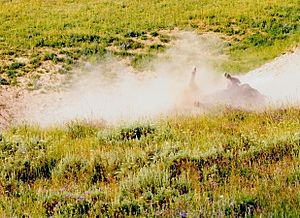 A bison wallow is a shallow depression in the soil