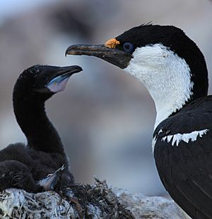 Antarctic Shag with chick at Jougla Point, Antarctica (6063675696)