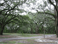 Liveoak,savannah