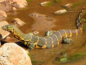 Nile Monitor, Lake Manyara