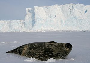 Phoque de Weddell - Weddell Seal
