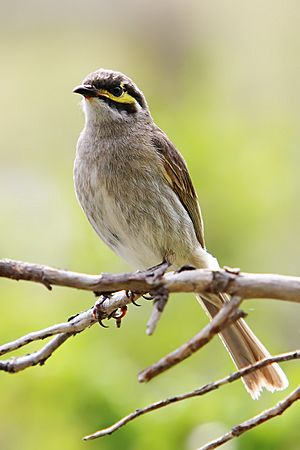 Yellow-faced Honeyeater nov07