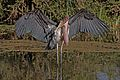 Marabou stork (Leptoptilos crumenifer) spreading wings 2
