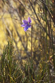 Thelymitra cyanea LC0261