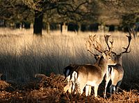 Two deer at Richmond Park, London