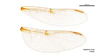 Telephlebia tryoni female wings (34219382964)